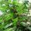 Հայաստանում տարածված այս բույսը կարող է բուժել հիպերտոնիան, շաքարային դիաբետը և նույնիսկ ուռուցքները